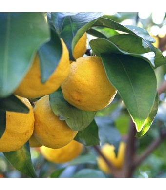Yuzu Lemon Tree