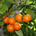 3-4 Year Old (3-4 Ft) Calamondin Orange Tree