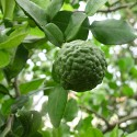 1-2 Year Old (1-2 Ft) Kaffir Lime Tree