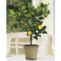 1-2 Year Old (1-2 Ft) Meyer Lemon Tree