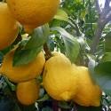2-3 Year Old (2-3 Ft) Ponderosa Lemon Tree