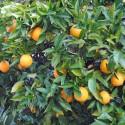 1-2 Year Old (1-2 Ft) Washington Navel Orange Tree