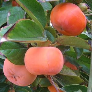 Fuyu Persimmon Tree