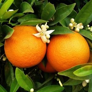 Glen Navel Orange Tree