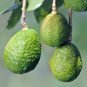 Haas Avocado Tree