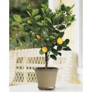 Meyer Lemon Tree