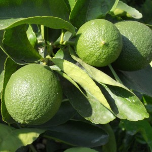 Persian Lime Gift Wrapped Tree
