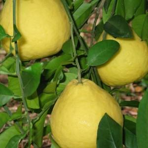 Sanbokan Sweet Lemon Tree