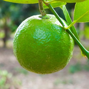 Sweet Lime Tree