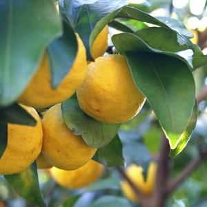 Yuzu Lemon Tree
