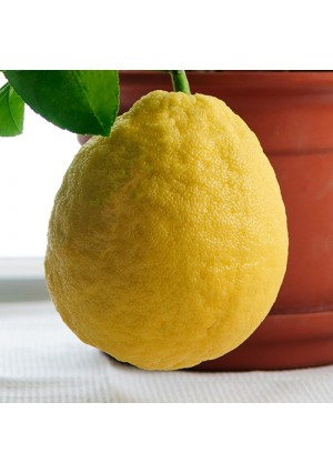 Baboon Lemon Tree