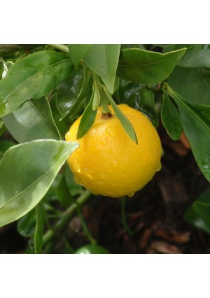 Lemonquat Tree
