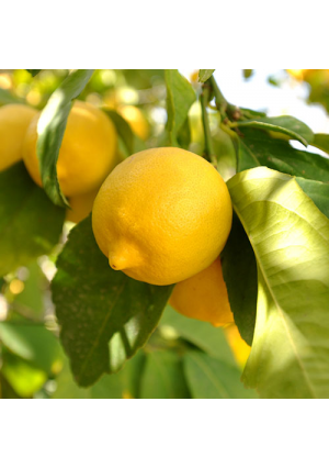 Lisbon Lemon Tree