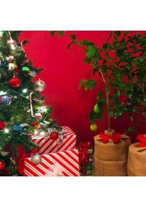 Meyer Lemon Gift Wrapped Tree