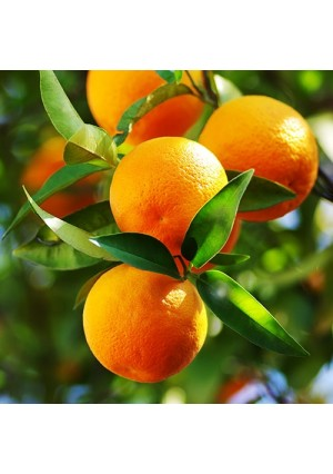 Midsweet Orange Tree