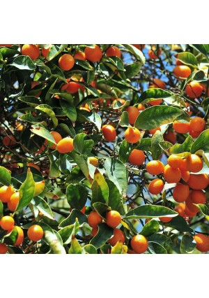 Nagami Kumquat Gift Wrapped Tree