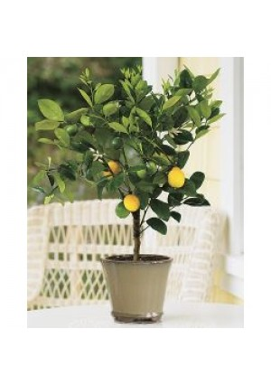 Improved Meyer Lemon Tree