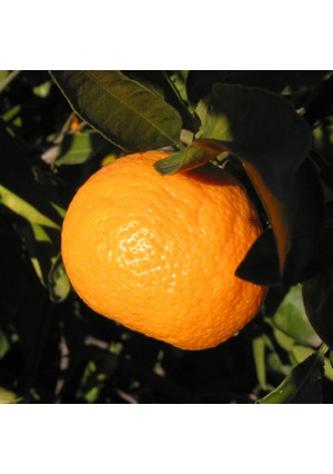 Owari Satsuma Orange Tree