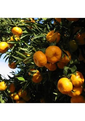 Page Mandarin Tree