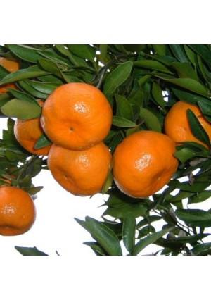 Ponkan Tangerine Tree