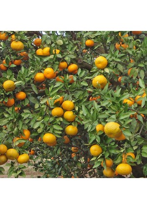 Saint Anne Satsuma Orange Tree