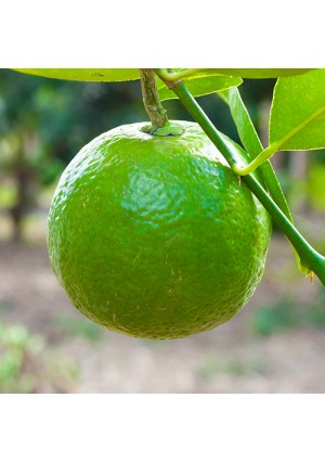 Sweet Lime Tree