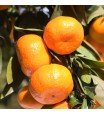 Armstrong Satsuma Orange Tree