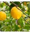 Bearrs Lemon Tree