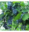 Blueberry (Brightwell Rabbiteye) Plant