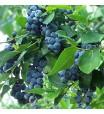 Blueberry (Brightwell Rabbiteye) Plant