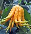 Buddha Hand Lemon Tree