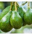 Fantastic Avocado Tree