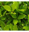 Laurel Bay Leaf Tree