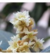 Loquat Blossoms