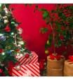 Meiwa Kumquat Gift Wrapped Tree