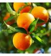 Midsweet Orange Tree