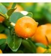 Murcott Orange Tree
