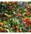 Nagami Kumquat Gift Wrapped Tree