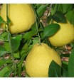 Sanbokan Sweet Lemon Tree