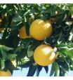 Star Ruby Grapefruit Tree