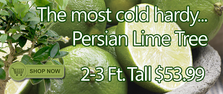 Persian Lime Tree