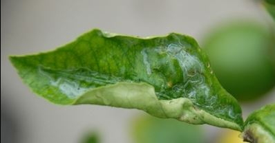 Although Leaf Miner Is Unsightly It S Typically Not Too Damaging To Citrus Trees Identified By Squiggly Lines In The Leaves Treatment